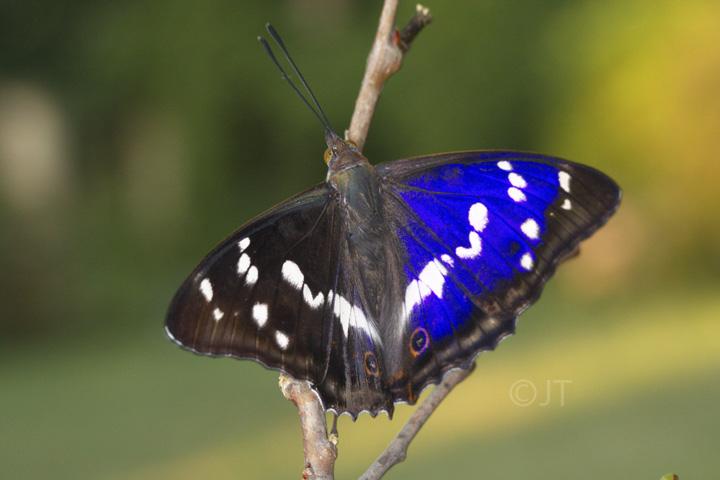 f0d5fa35aac Batolec duhový - Apatura iris